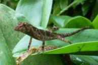 Reserva-Rio-Blanco-Reptil